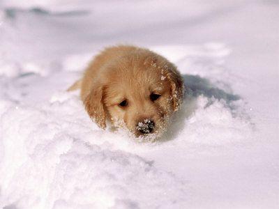 Golden Retriever Puppy Buried In Snow Retriever Puppy Puppies