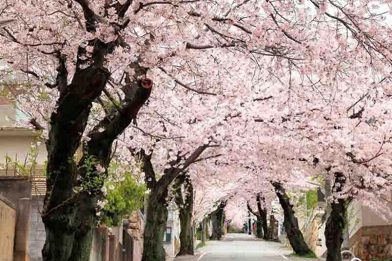 Regarded One Of The Most Spectacular Of Flowering Trees The Yoshino Cherry Prunus X Yedoensis Is Hi Yoshino Cherry Tree Flowering Cherry Tree Yoshino Cherry
