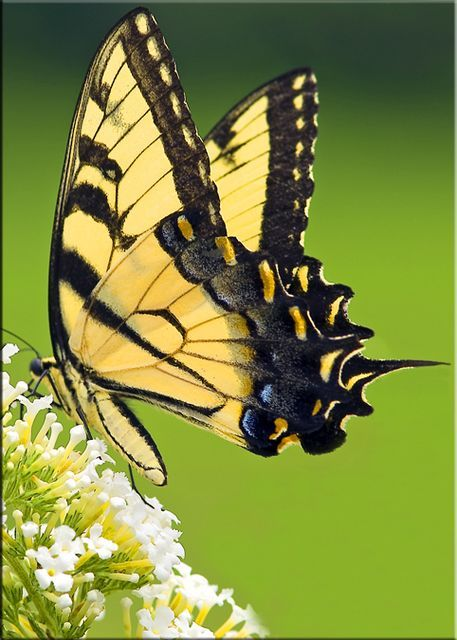 Julie Swallowtail Grain Free Chocolate Chip Cookies Swallowtail Butterfly Beautiful Butterflies Swallowtail