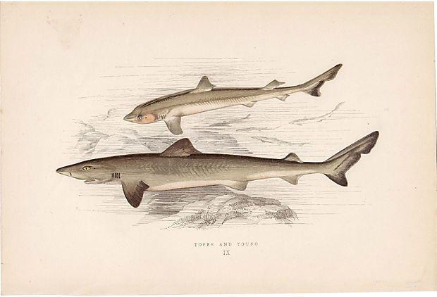 Toper Shark w/ Young, 1878 on OneKingsLane.com   For John's room