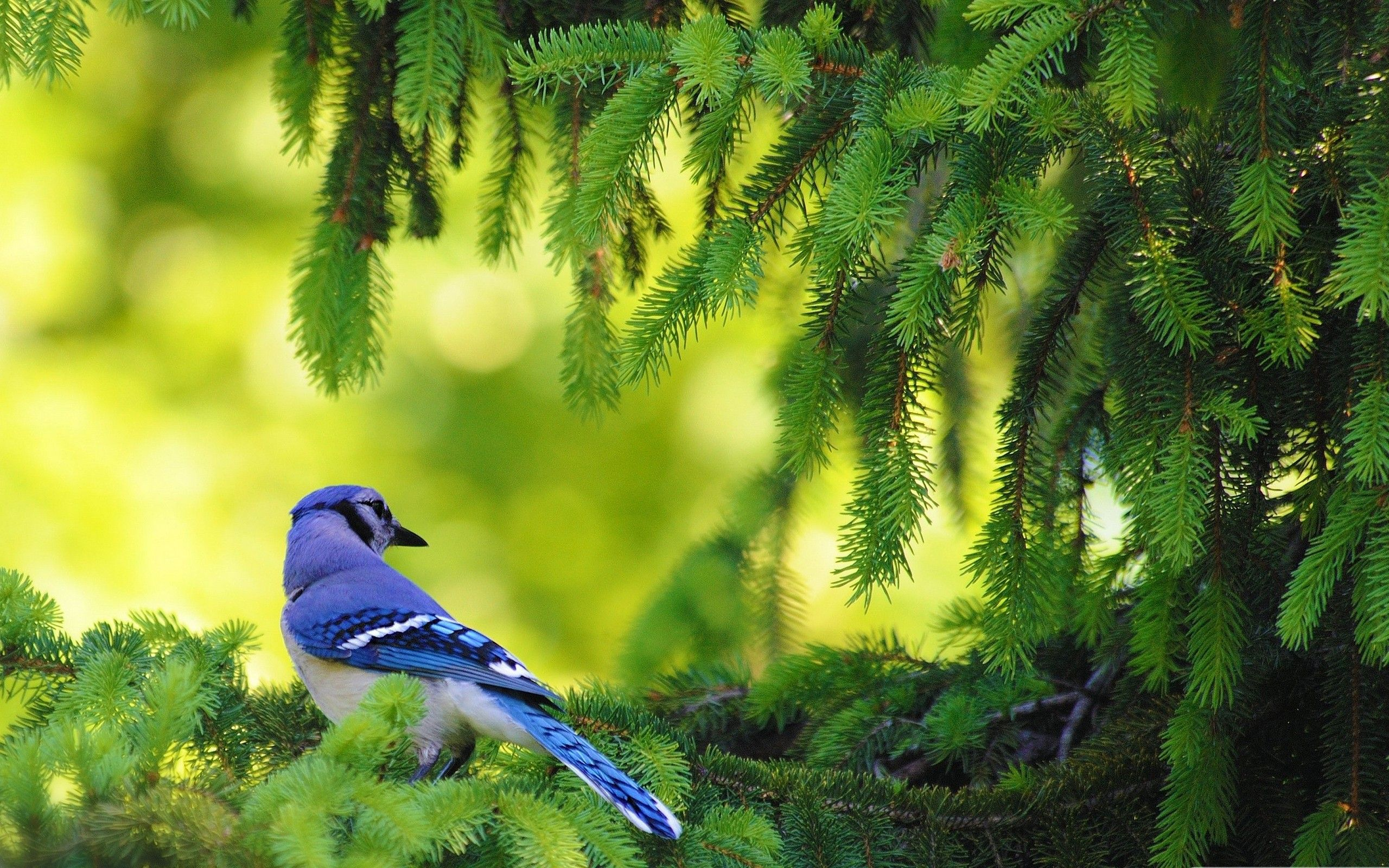 Natural Birds Hd Wallpaper Download Awesome Nice And High Quality Hd Wallpapers From Backgroundwallpapershd For F Blue Jay Blue Jay Bird Birds Wallpaper Hd