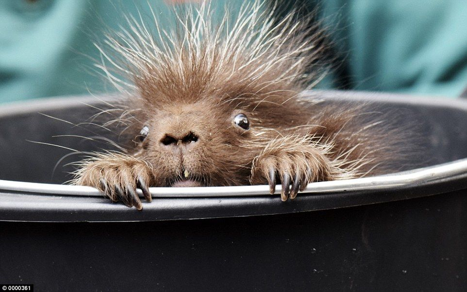 The prickly rodent weighs just three pounds and was spotted by staff at Hagenback Zoo in G...