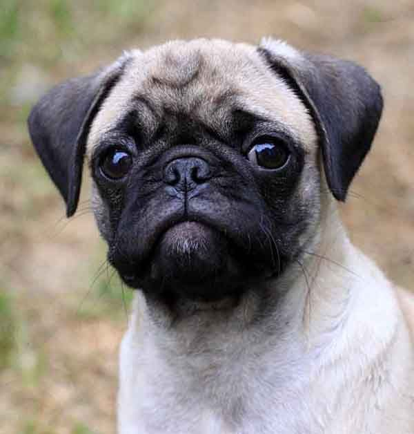 Pug Puppy For Sale In Portland Or Adn 34172 On Puppyfinder Com