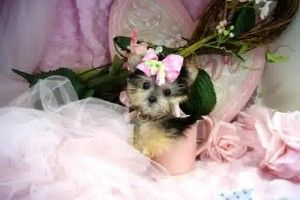 Teacup Puppies For Sale In Nj Cute Puppies Teacup Puppies Puppies For Sale Teacup Puppies For Sale