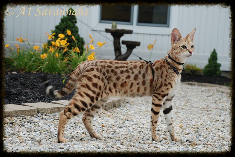 A Raça Savannah Gato serval, Gatos exóticos e Filhotes