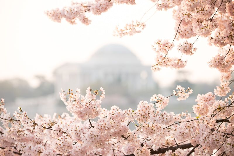 Up To Date Peak Bloom Forecasts News Information Amp Photos Of Washington Dc 39 S Che Cherry Blossom Washington Dc Cherry Blossom Dc Cherry Blossom Print