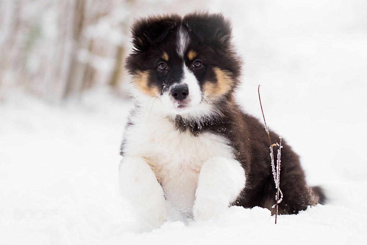 "happycanineco: "" Ida Eliasson | Aussie puppy """