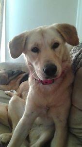 Dog For Sale Golden Retriever And Wolf Mix Ottawa Ottawa