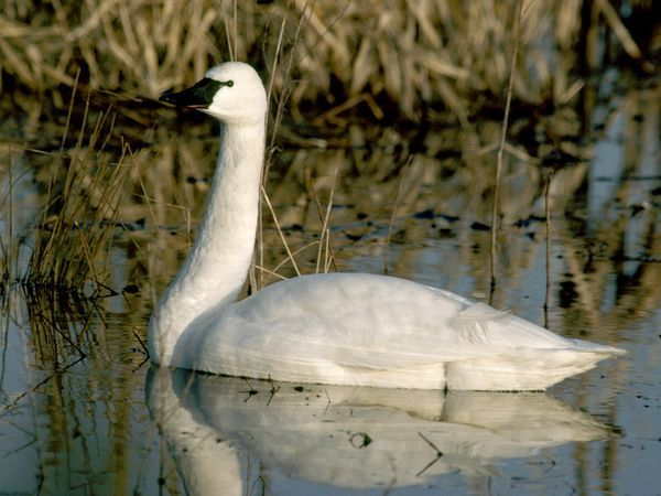 The graceful tundra swan feeds not only on underwater flora and shellfish but has developed a taste for grains and corn, much to the chagrin of farmers.