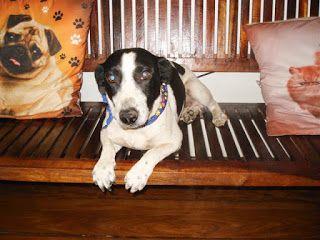 Adote, Não Compre!: Amiguinho - Cachorro de Porte Pequeno para Adoção em Porto Alegre http://goo.gl/Ue84em