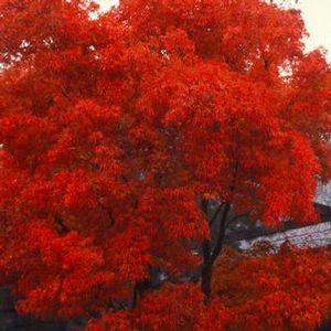 Emperor Japanese Maple Vs Bloodgood Google Search Home Projects