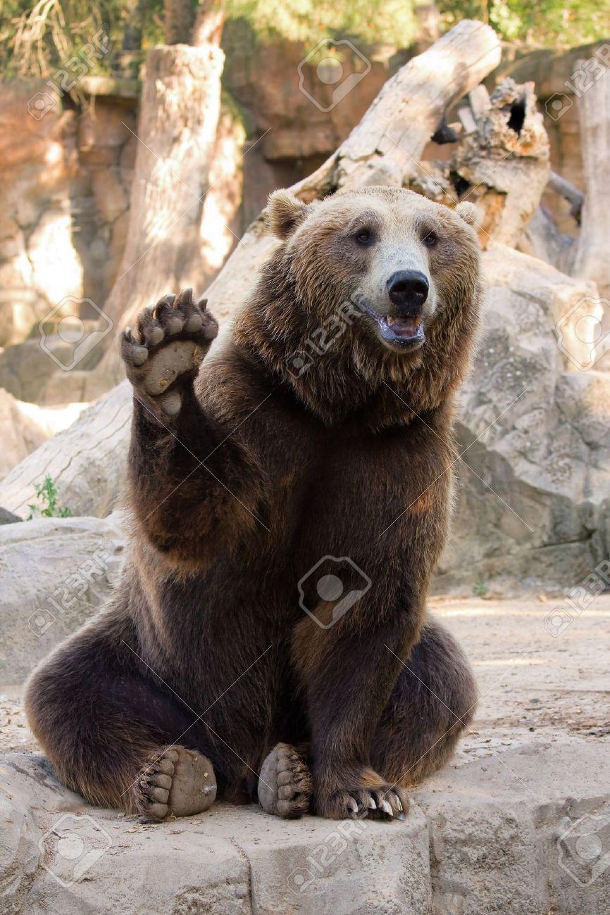 Image D Ours Brun ours brun amical assis et brandissant une patte dans le zoo banque d