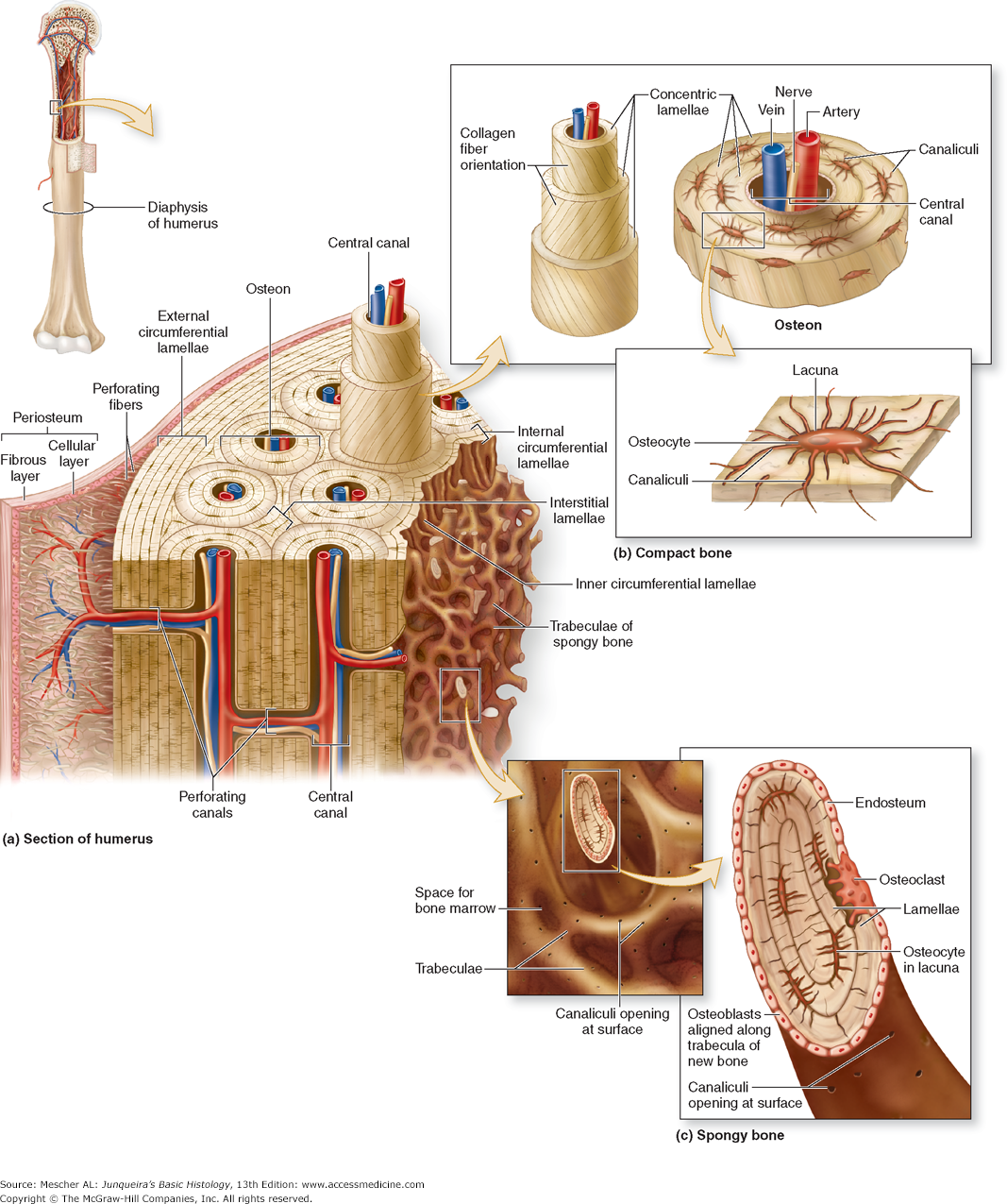 Bone - Diagram of compact and spongy bones | Histology - Cartilage ...