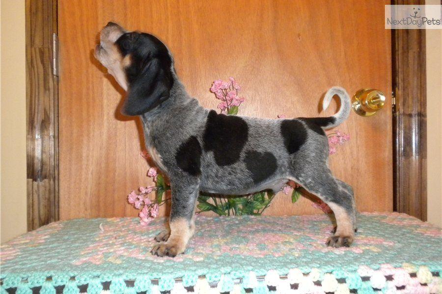 Bluetick Coonhound Meet Trouble A Cute Bluetick Coonhound Puppy
