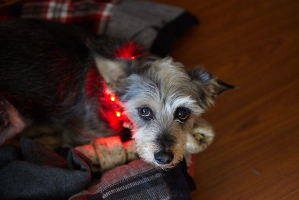 Illuminate a dog collar with leds make dogs up dog