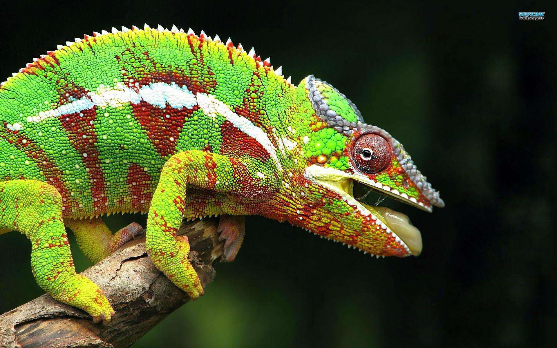 Chameleon chameleon x jpg