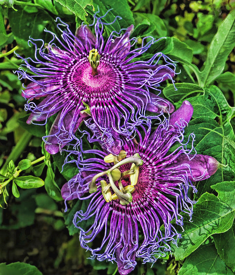 Two Purple Passion Flowers By Hh Photography Of Florida In 2020 Purple Passion Flower Rainforest Flowers Passion Flower