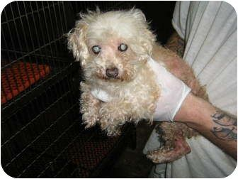 Pin On Adoptable Dogs Mostly Havanese