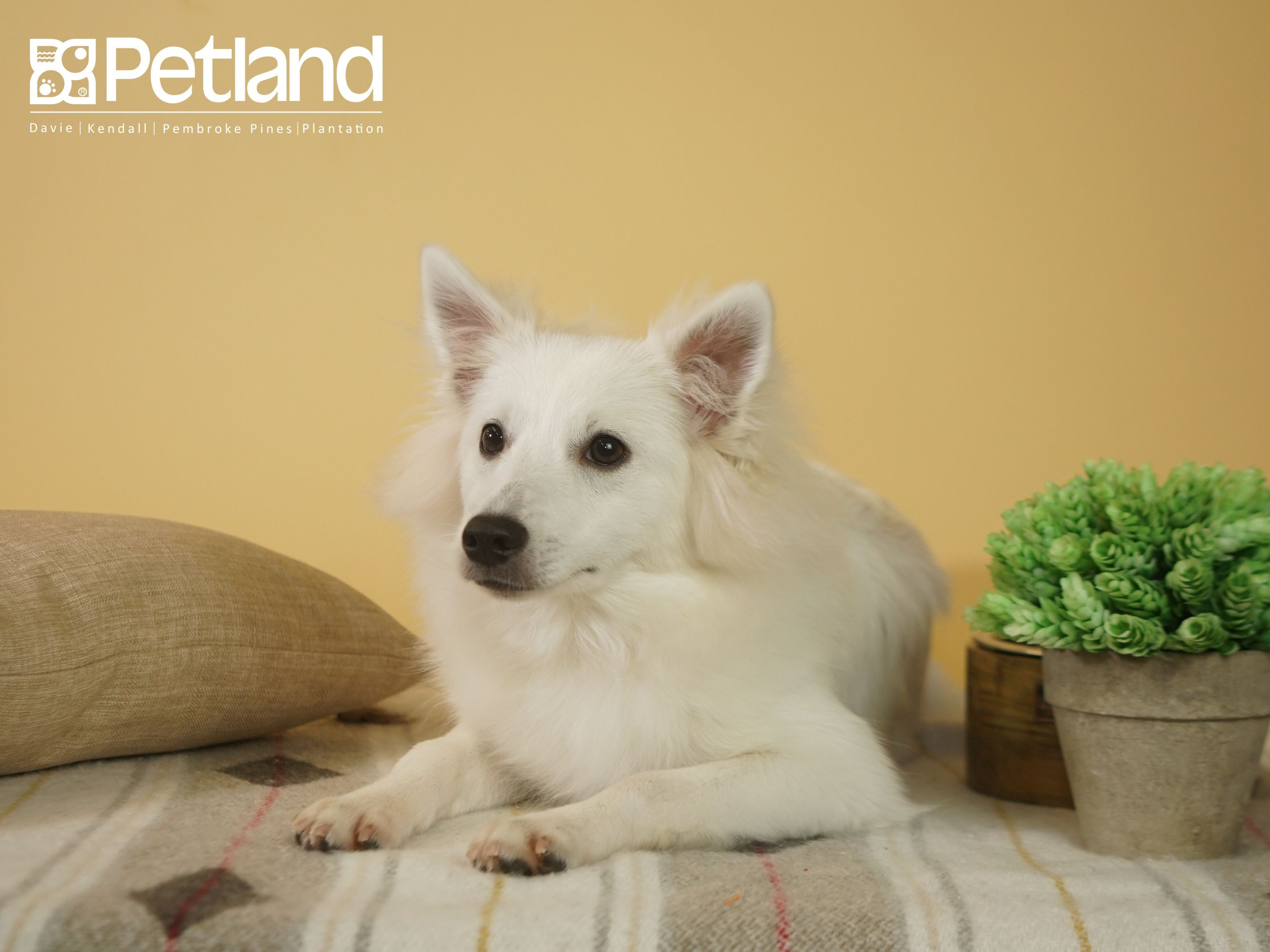 Petland Florida Has Kleekimo Puppies For Sale Check Out All Our Available Puppies Kleekimo Puppy Doglover Adorable Do Puppy Friends Dog Lovers Puppies