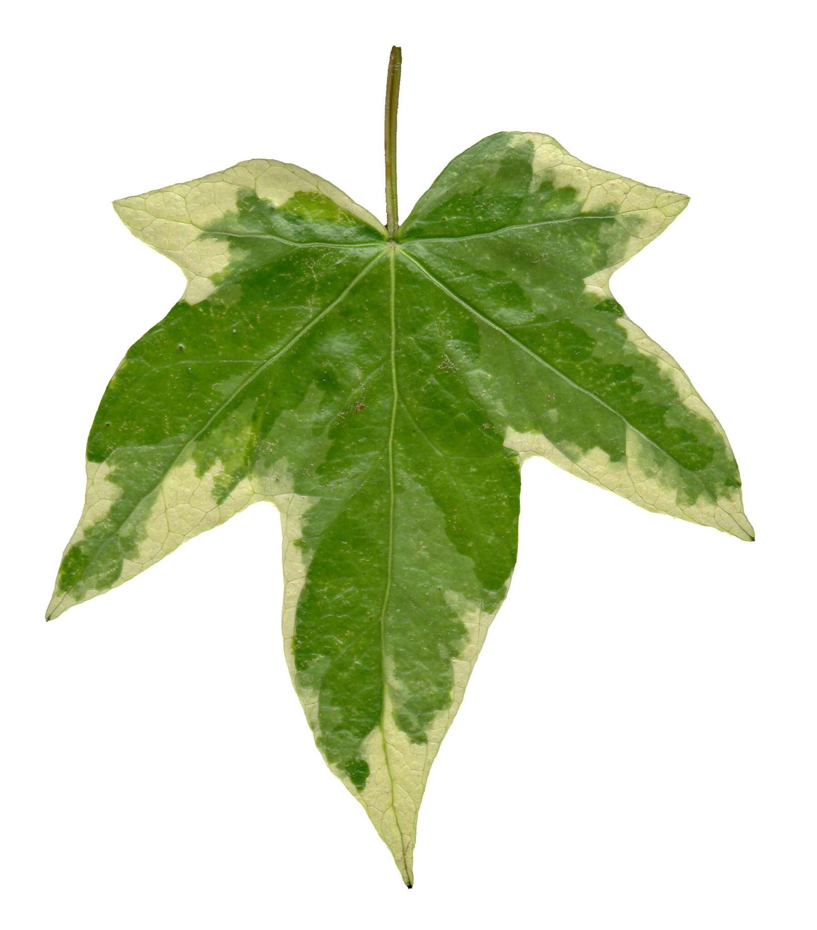 Ivy Leaf Front Texture By Hhh316 Png 1625 1850 Autumn Leaves Photography Ivy Leaf Leaves