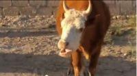 Vaca loca pillada justo en el momento de enloquecer