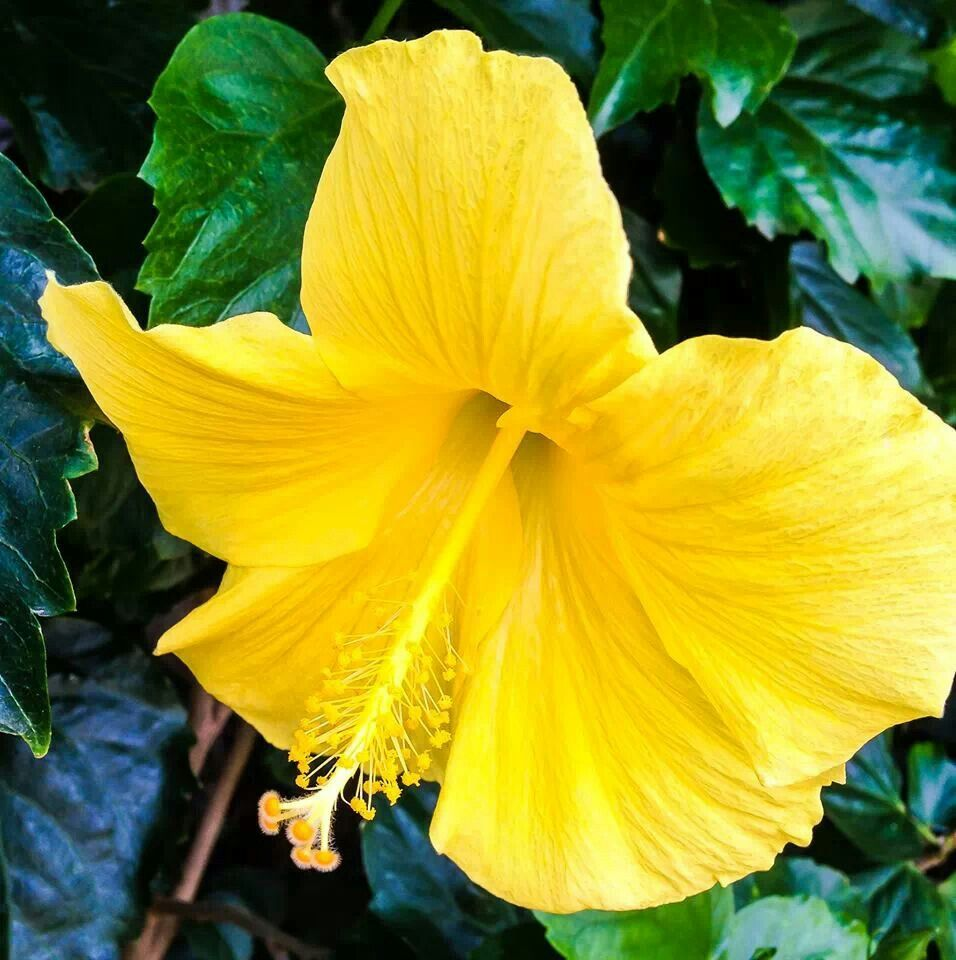 Yellow hibiscus hawaiian state flower hawaii pinterest yellow hibiscus hawaiian state flower izmirmasajfo