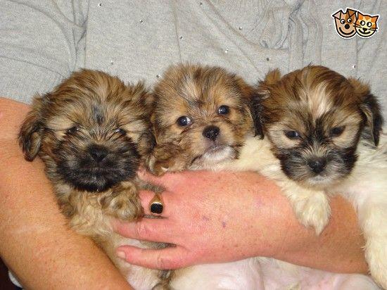 Stunning Yorkie / Pom x Shihtzu Puppies Shih tzu puppy