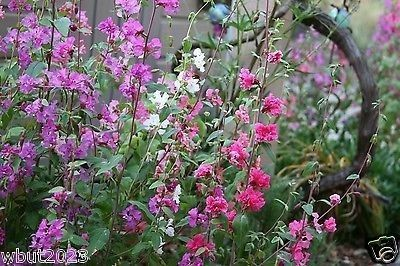 Clarkia Flowers Mountain Garland Clarkia Unguiculata 3 000 Flower Seeds Bunga Beautiful