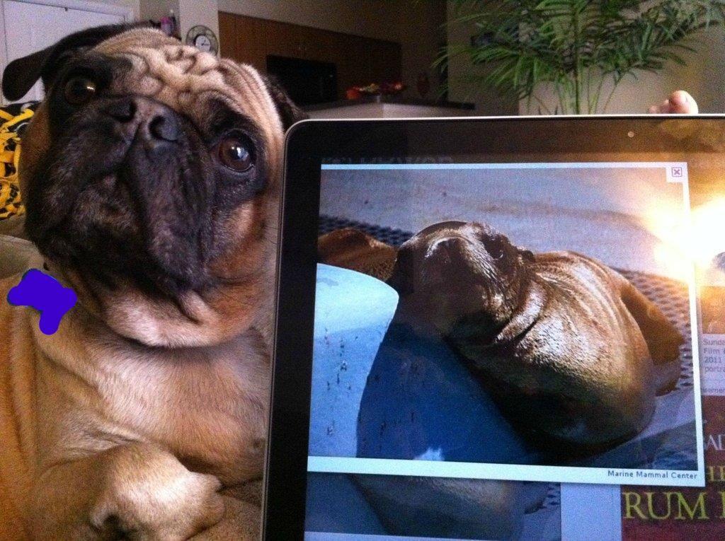 Pug Vs Sea Lion Pugs Sea Animals
