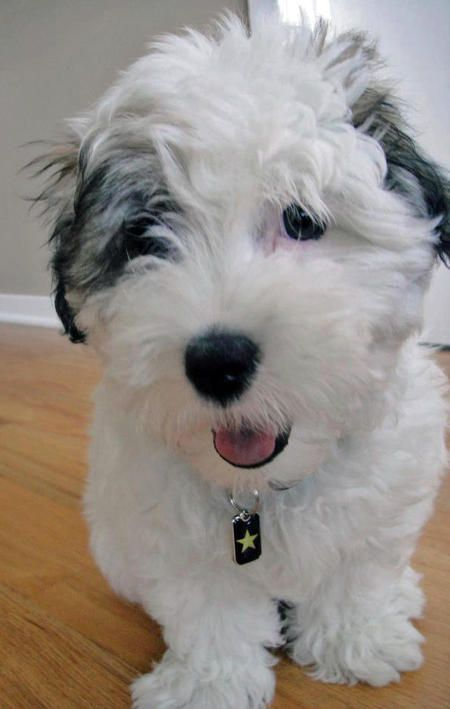 Max The Coton De Tulear This Coton Looks Just Like A Stuffed