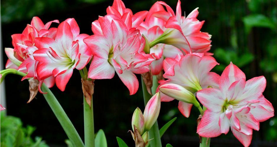 Amarylis Uprawa I Pielegnacja Kiedy Sadzic Amarylis I Co Zrobic Kiedy Nie Kwitnie Claudia Pl Flowers Amaryllis Plants