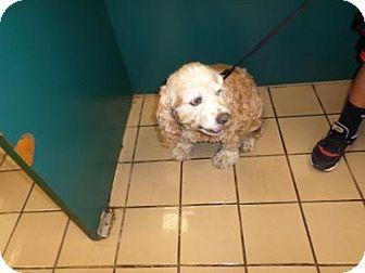 West Palm Beach Fl Cocker Spaniel Meet Stasha A Dog For Adoption Dog Adoption Pets Kitten Adoption