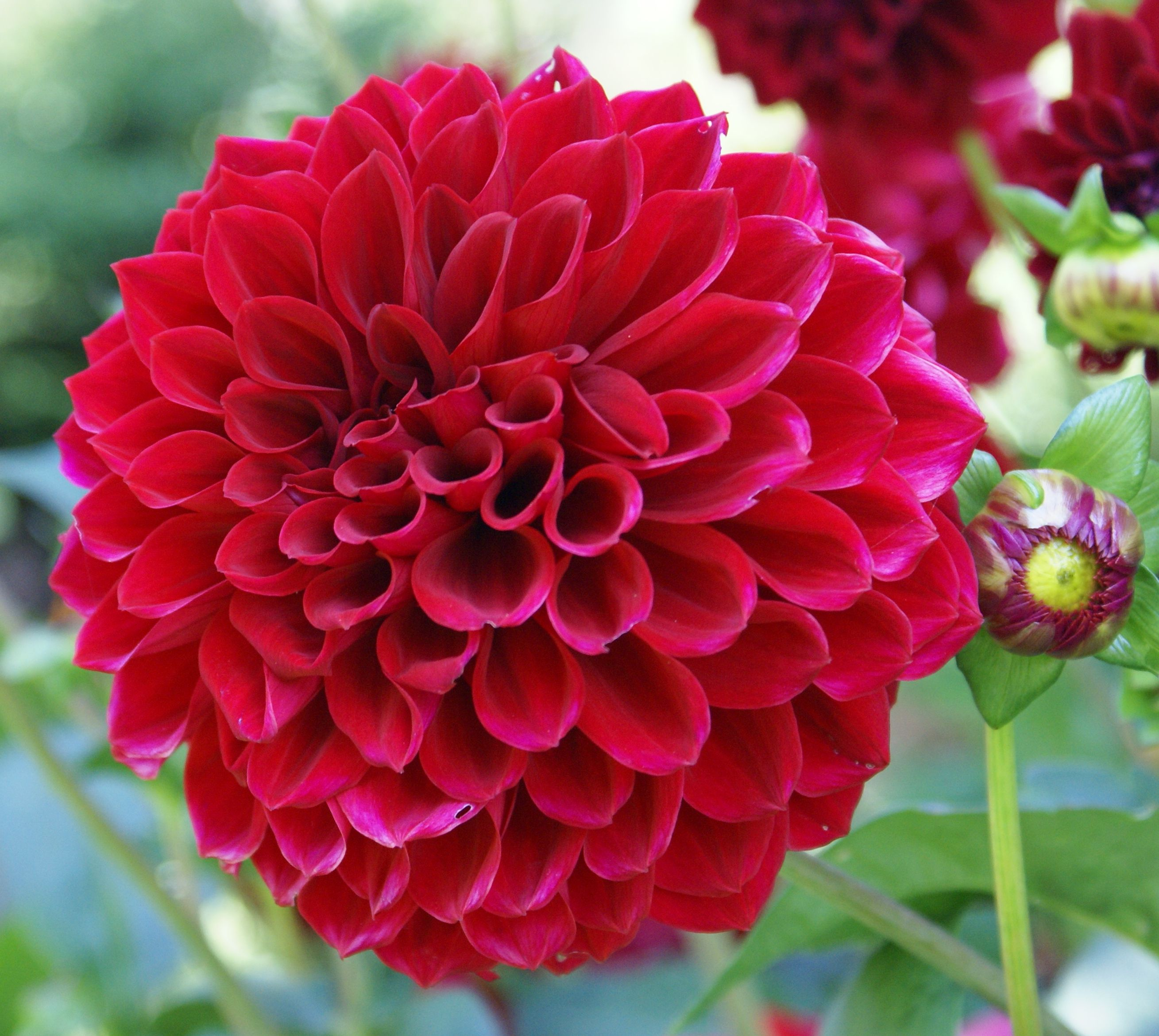 A guide to some basic flower types wedding pinterest dahlia a guide to some basic flower types izmirmasajfo