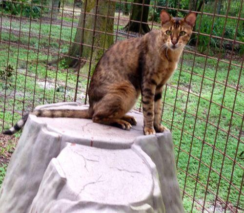 Savannah Cats And Bengal Cats Make Bad Pets Bengal Cat Big Cat Rescue