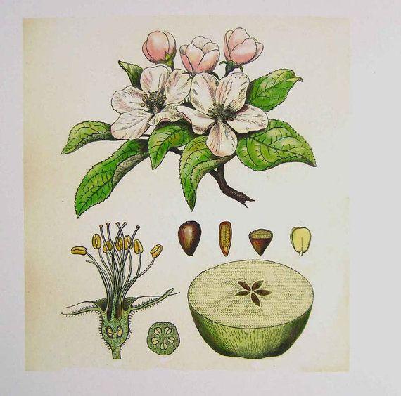apple blossom botanical drawing - Google Search | Tattoo ideas ...
