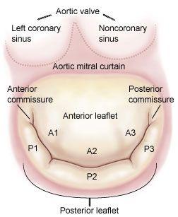 Anatomy of the mitral valve