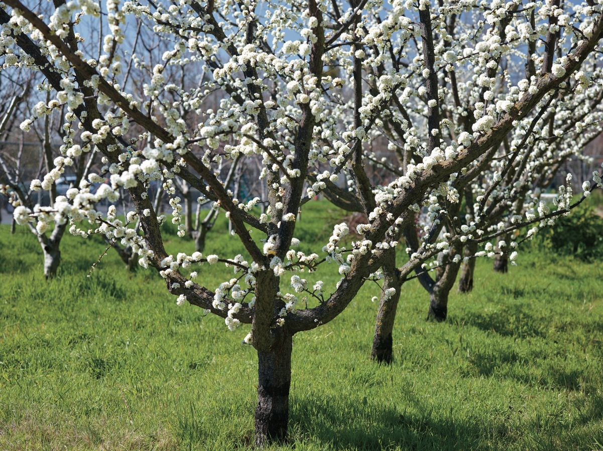 Q A With Ann Ralph Keeping Fruit Trees Small Small Fruit Trees Fruit Trees Pruning Fruit Trees
