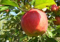 Antiche Varieta Di Mele Runse Sapori D Italia Mele E Frutta