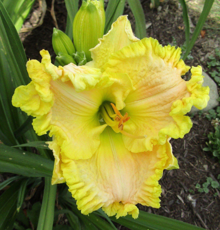 Daylily BUDDY'S KIRSTEN Day lilies, Hardy plants, Daylilies