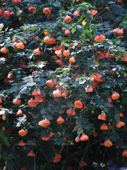 Chinese Lantern Shrub Abutilon Plants Garden Shrubs