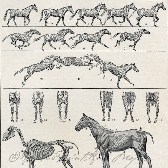 Image result for horse movement walk   Horse anatomy ...