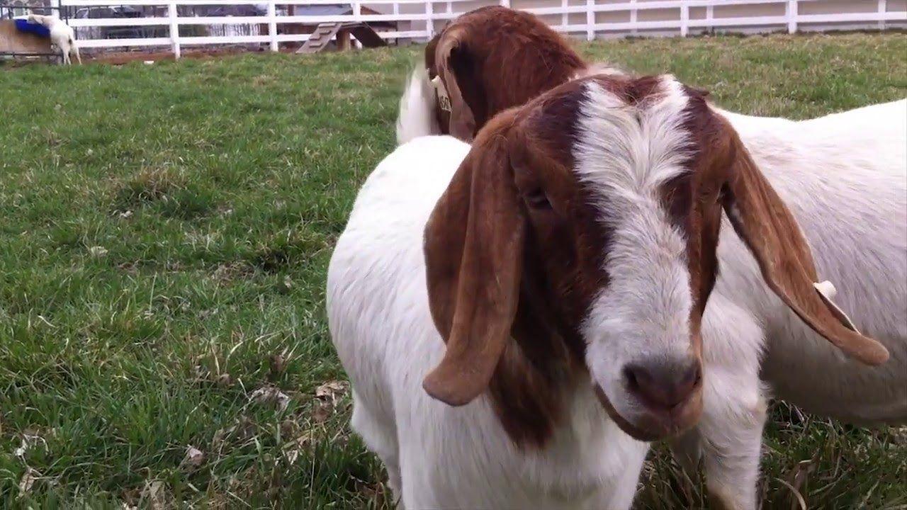 06425769e0e99f873c75198468c82836 - Is Goat Manure Good For Vegetable Gardens