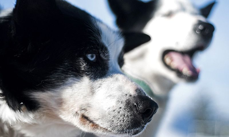 Dog Sled Transfers to the airport | ICEHOTEL