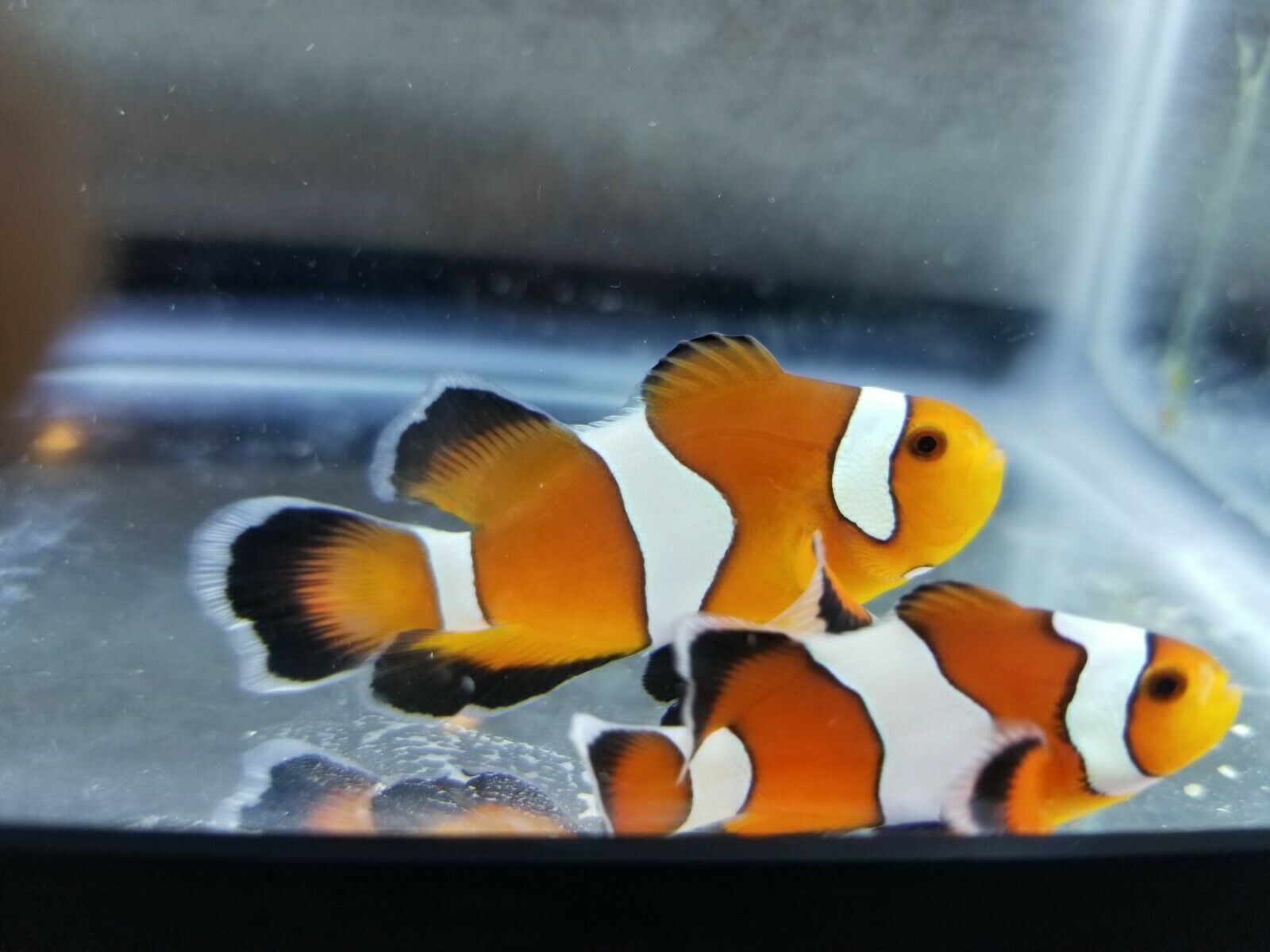 Roundtail Longfin Clownfish Medium Pair 50 00 One Day Shipping Clown Fish Marine Aquarium Fish Aquarium Fish