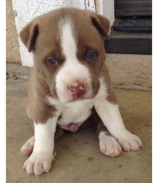 Pitbull Cross Husky Puppies Puppy Dog Pictures Pitsky Puppy