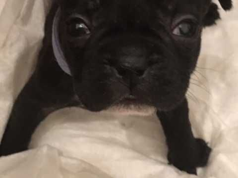 French Bulldog Puppies Preston Lancashire Pets4homes Dogs