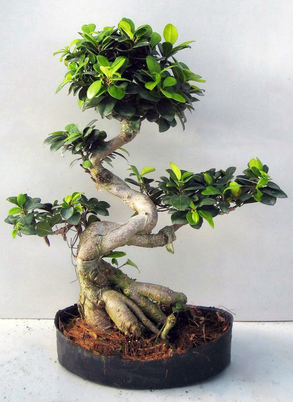ficus microcarpa ginseng bonsai bonsai ficus jardin pinterest bonsa bonza et plantes. Black Bedroom Furniture Sets. Home Design Ideas