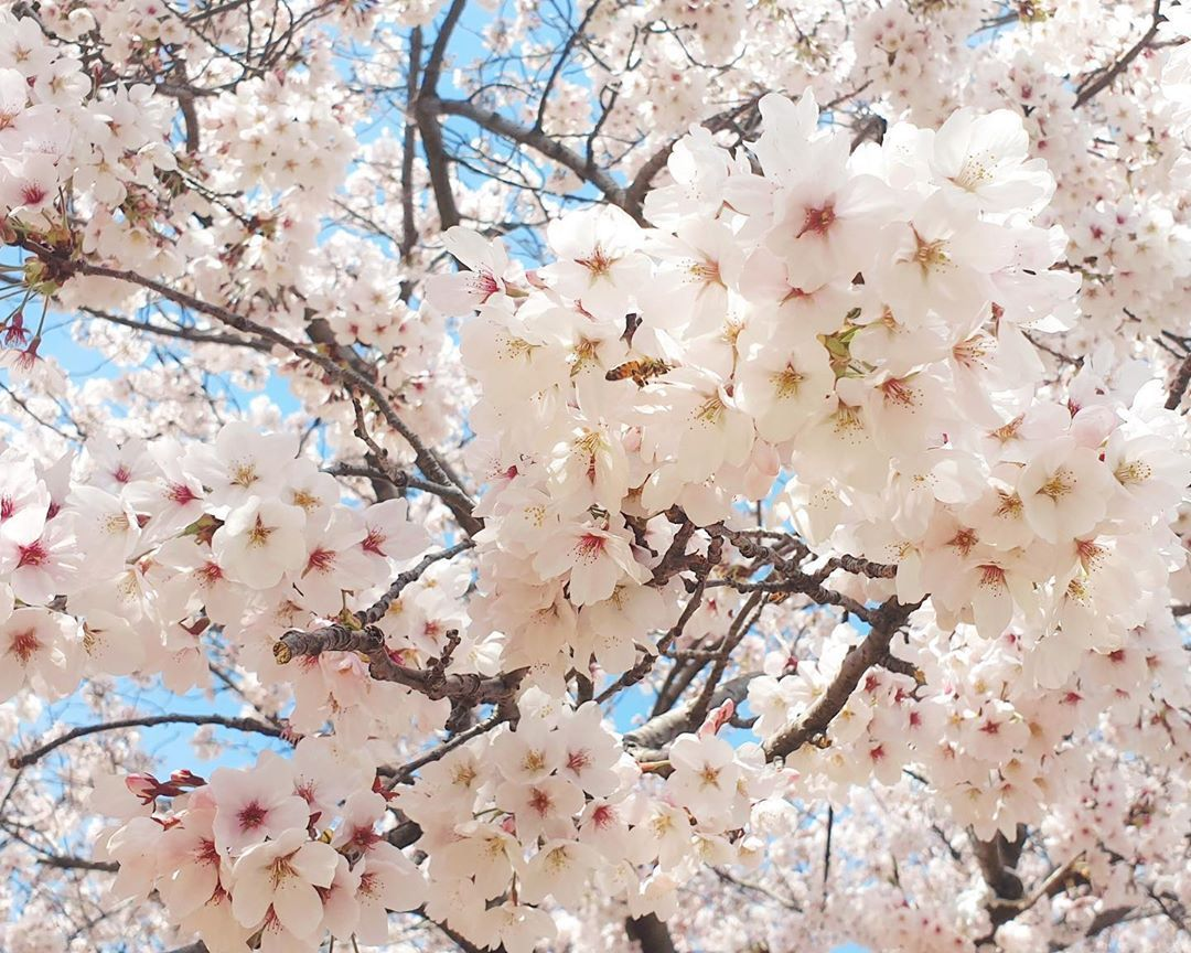 E T H E R Jewellery On Instagram You Know It S Spring When The Pretty Cherry Blossoms Are In Full Bloom Living Vicariously Thro Cherry Blossom Bloom Blossom