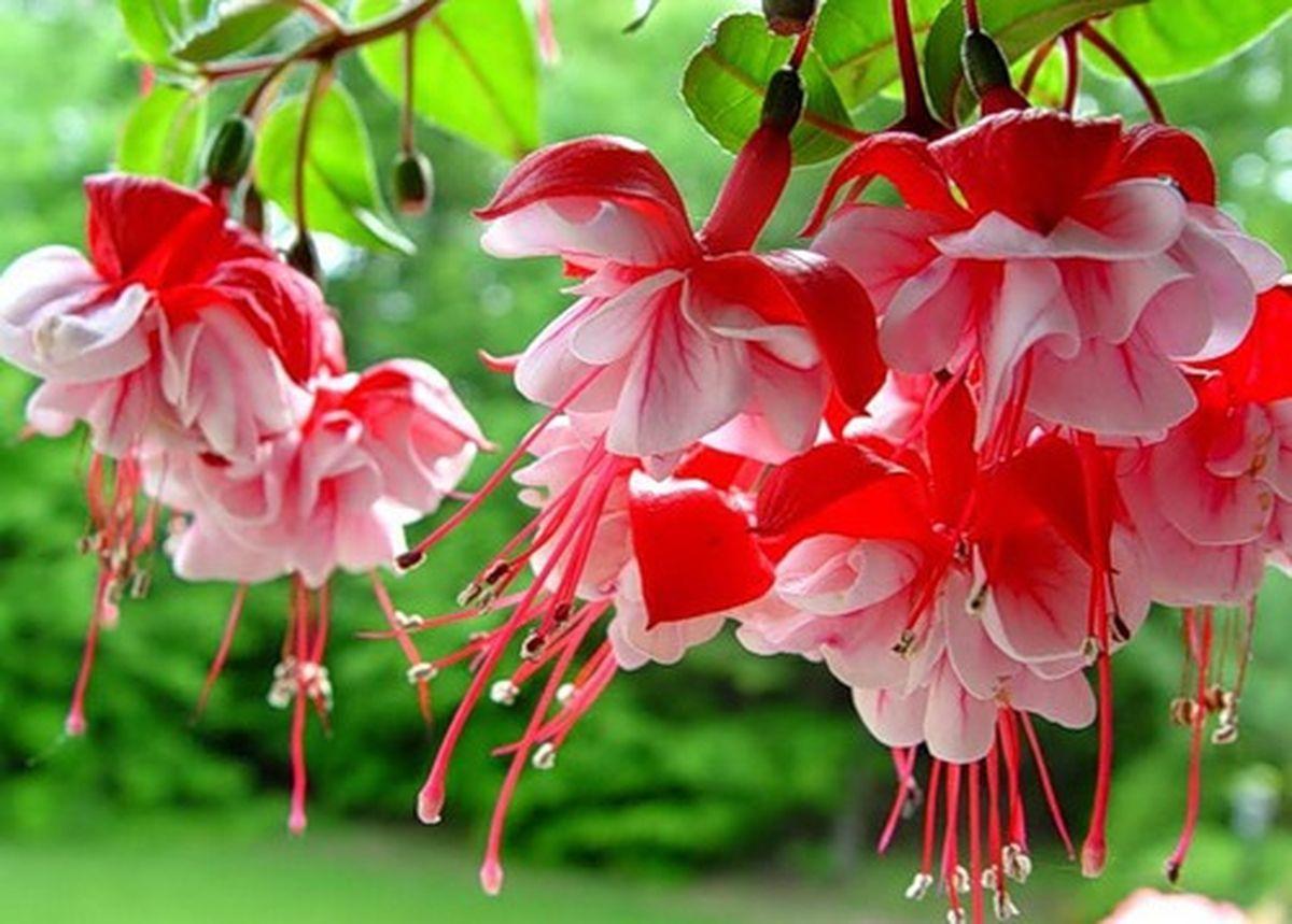 Pink And Red Fushias Fuchsia Flowers Fuchsia Flower Beautiful Flowers