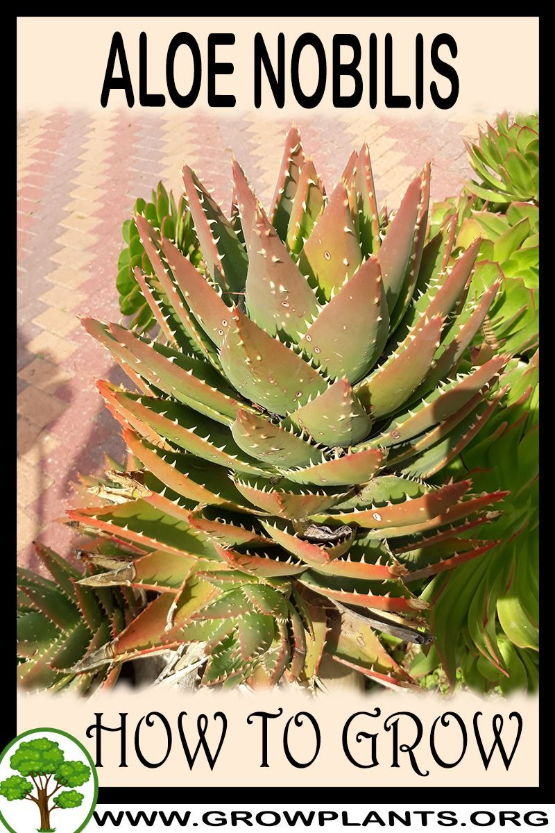 Photo of Aloe nobilis growing instruction & requirement Aloe nobilis info: climate, zone,…